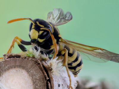 Melding ongedierte voor het bestrijden van wespen