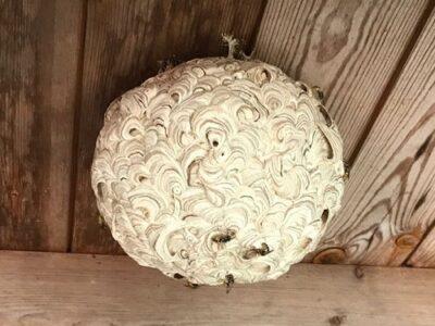 wespennest verwijderen