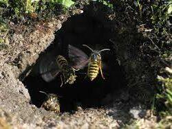 Wespen In De Grond
